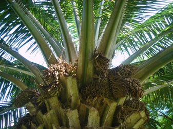 african oil palm 花か