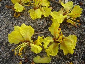 コウエンボク花弁