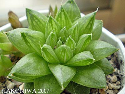 超小型姫玉緑