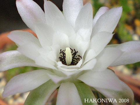 麗蛇丸花4