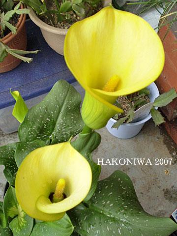カラー黄1