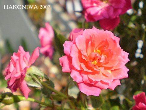 ミニバラ濃ピンク2