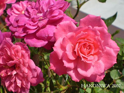 ミニバラ濃ピンク3