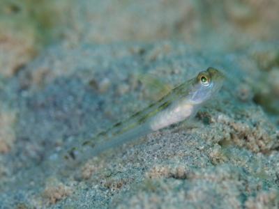 クサハゼ幼魚
