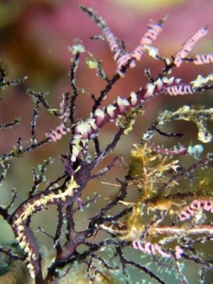 スミゾメミノウミウシ