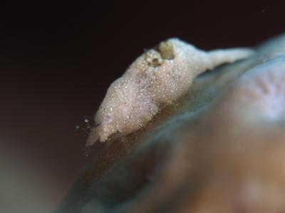ナガレモエビ属の1種