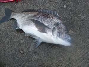 飛島黒鯛2