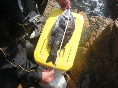 黒鯛48.5cm