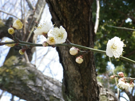 2012.2.24今日の梅