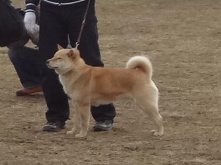 2012.3.4 若犬・特良一席犬 房媛(札幌東八)
