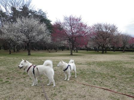 2012.3.19 野川公園・梅の花
