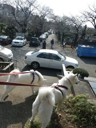 2012.3.20 桜並木