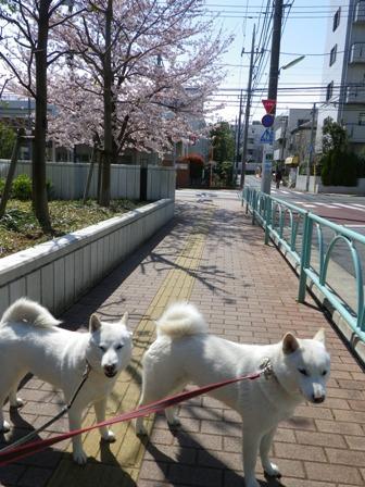 2012.4.6 満開の桜