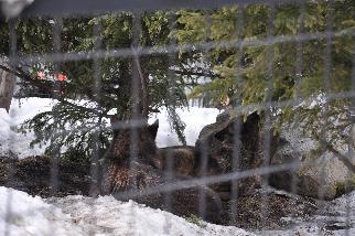 旭山動物園オオカミ