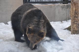 旭山動物園クマ