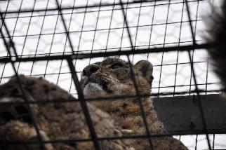 旭山動物園アムールヒョウ