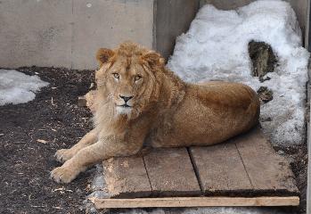 旭山動物園ライオン