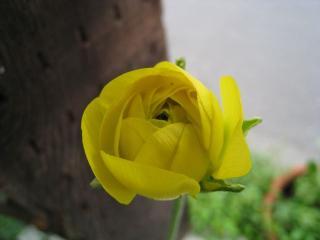 banan yellow