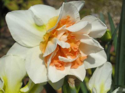 オレンジ水仙