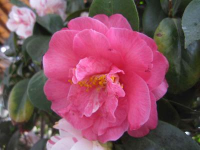 24nen椿ピンク