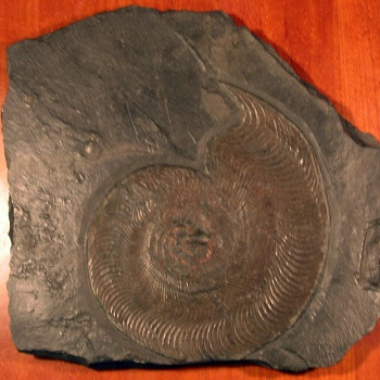ハーポセラスの化石