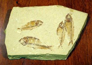 ナイティアの化石