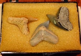 イタチザメ目の歯の化石