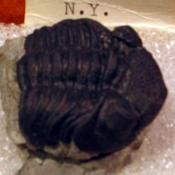 ファコプス・ラナの化石
