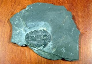 エルラシア・キンギィの化石