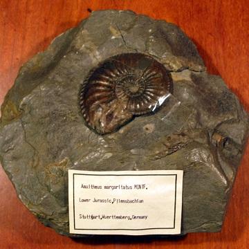 アマルテウスの化石
