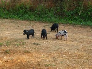 豚blog01
