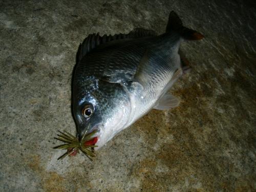 2008.8.1淀川キビレ5