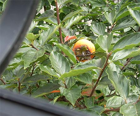 20081019甥っ子柿の木②