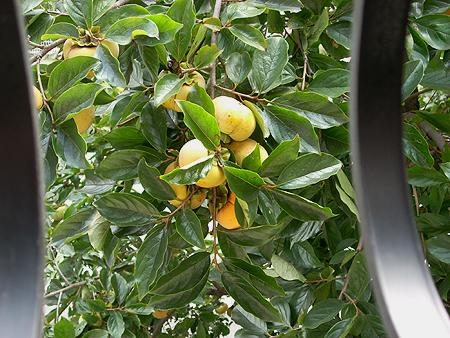20081019柿の木①