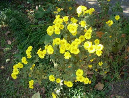 20081112黄色い花