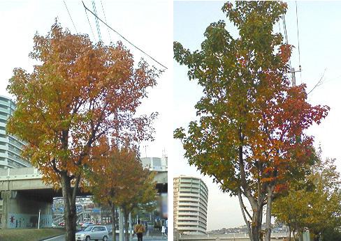 20081117紅葉