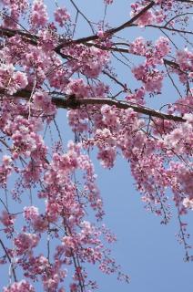 しだれ桜が