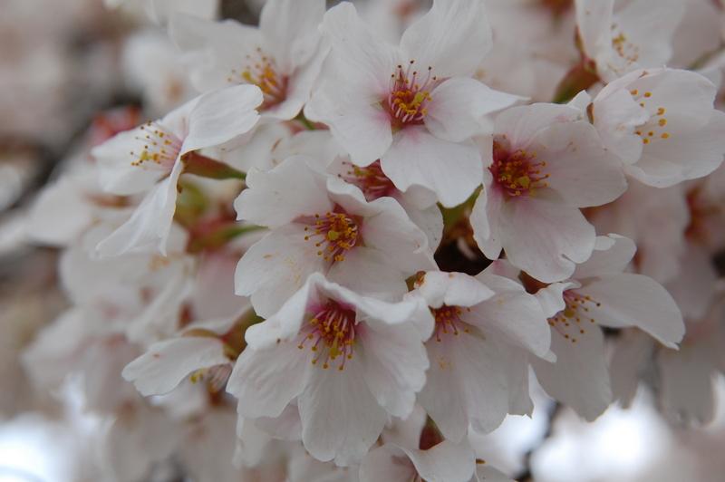 2012-04-04 Sakura (1)