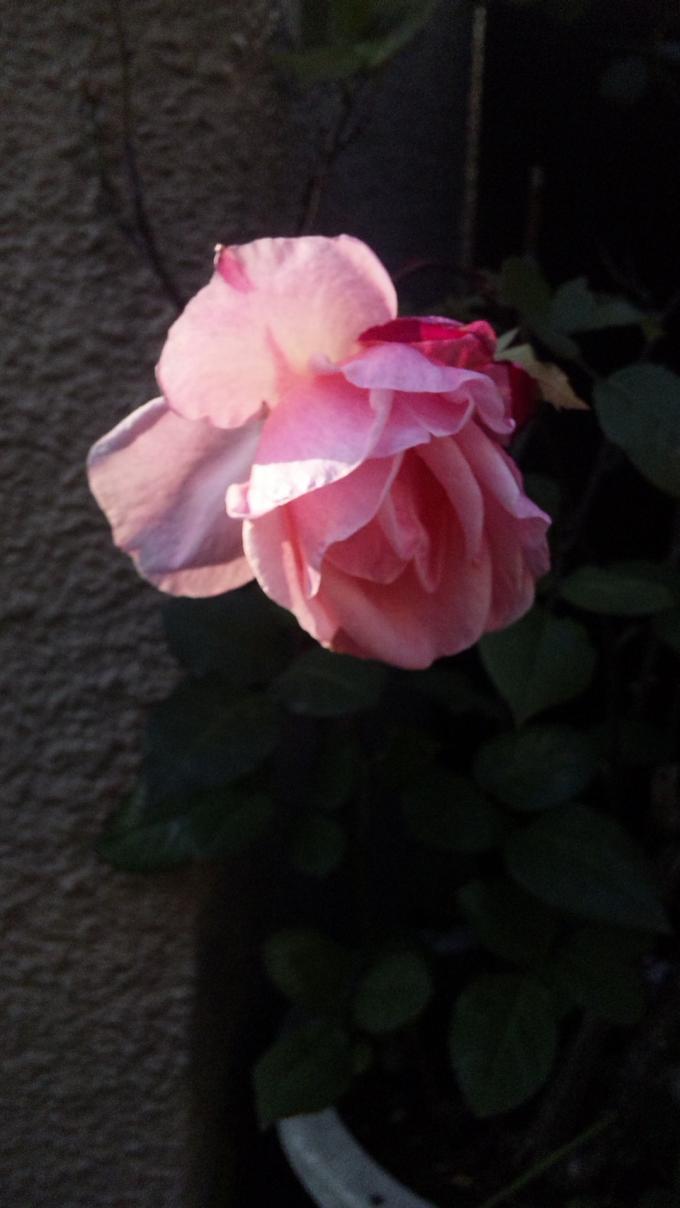 ROSE_20110318