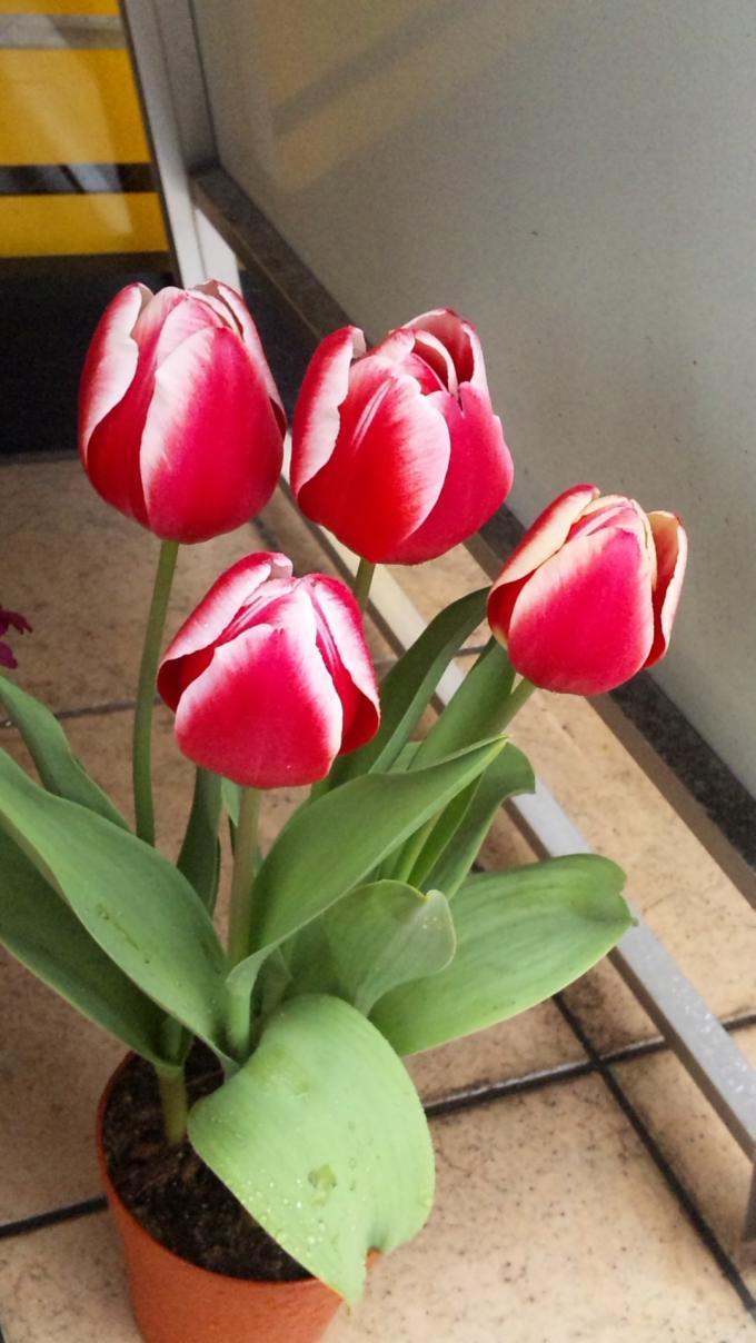 Tulip_20110321