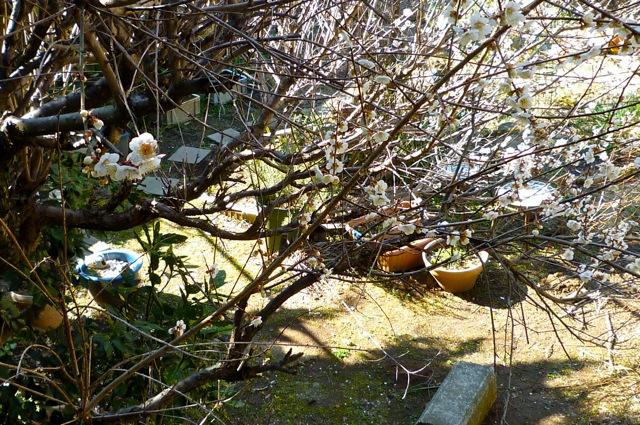 白梅の咲く庭