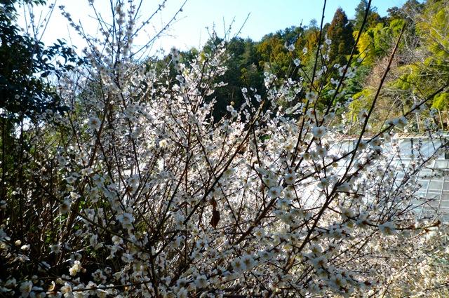 たくさんの花をつけた白梅