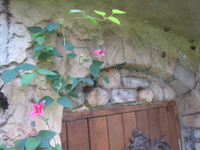 庭に咲くクレマチス