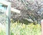 菜の花と桜・・・