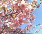 桜のアップ・・・