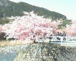せせらぐ河辺傍の桜・・・