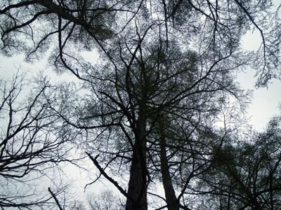 カラマツの林