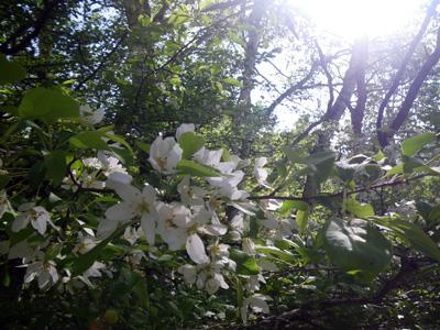 ズミの花4
