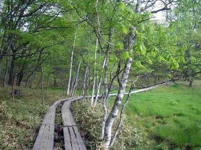 シラカンバの木道