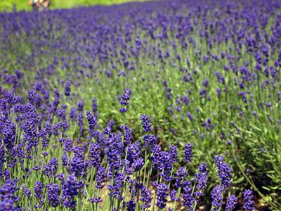 濃い紫ラベンダー沢山